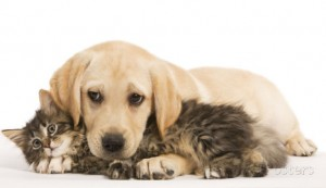 cat-and-dog-labrador-puppy-and-norwegian-forest-cat-kitten